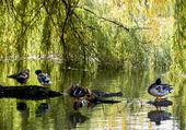 Mallard ducks resting on a tree trunk — Stock Photo