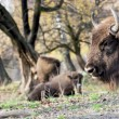 Europebison (Bison bonasus) graze in wild — Stock Photo #35644091