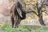 The European bison (Bison bonasus) — Stock Photo