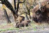 European bison (Bison bonasus) graze in the wild — Stock Photo