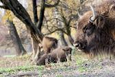European bison (Bison bonasus) graze in the wild — Stock Photo