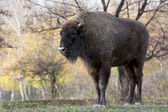 Big European bison (Bison bonasus) — Stock Photo