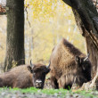 Stock Photo: Herd of wild Europebison (Bison bonasus) in autumn deciduous