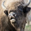 Stock Photo: Portrait of wild Europebison