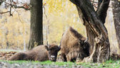 Herd of wild European bison (Bison bonasus) in autumn deciduous — Stock Photo