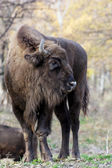 European bison has injured his leg — Stock Photo