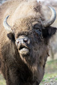 Portrait of a wild European bison — Stock Photo