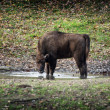 Young European bison drinks water — Stock Photo