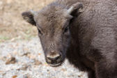 Portrait of a young European bison — Stock Photo