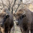 Two wild European bison (Bison bonasus) in autumn deciduous fore — Stock Photo