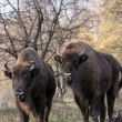 Group of wild European bison (Bison bonasus) in autumn deciduous — Stock Photo
