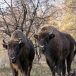 Stock Photo: Group of wild Europebison (Bison bonasus) in autumn deciduous