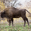 Side view of a big European bison (Bison bonasus) — Stock Photo