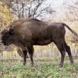 Foto de Stock  : Side view of big Europebison (Bison bonasus)