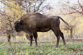 Side view of a big European bison (Bison bonasus) — Стоковое фото