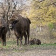 European bison (Bison bonasus) living in autumn deciduous forest — Stock Photo