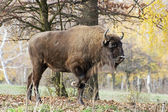 Big European bison (Bison bonasus) in the forest — Stok fotoğraf