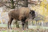 Big European bison (Bison bonasus) in the forest — Stock Photo