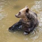 Brown bear (Ursus arctos arctos) sitting in water — Stock Photo