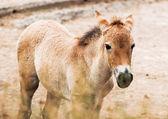 Przewalski's horse foal — Stock Photo
