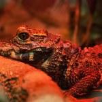 ������, ������: Dwarf crocodile Osteolaemus tetraspis