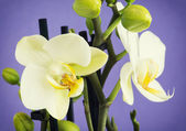 Light yellow orchid flowers with buds — Stock Photo