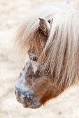 Przewalski's horse — Stock Photo
