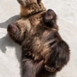Young brown bear (Ursus arctos arctos) lying on the ground — Stock Photo