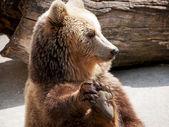Brown bear (Ursus arctos arctos) holds his paw — Stock Photo