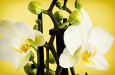 Macro photo of the yellow orchid — Stock Photo