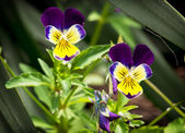 Purple and yellow viola flowers — Stock Photo