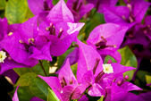 Bougainvillea purple flowers — Stock Photo