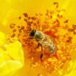Honeybee pollinates a yellow rose — Stock Photo #44728435