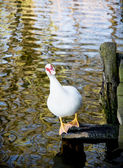White muscovy duck (Cairina moschata) and lake — Stock Photo