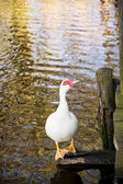 One white muscovy duck (Cairina moschata) and mirroring water — Stock Photo