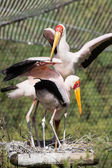 Group of Yellow-billed stork (Mycteria ibis) — Stock Photo