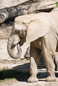 One African bush elephant (Loxodonta africana) — Stock Photo