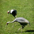 White-naped Crane (Grus vipio) — Stock Photo