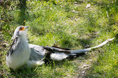 Птица секретаря (Стрелец serpentarius) — Стоковое фото