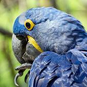 Arara-azul (anodorhynchus hyacinthinus) — Fotografia Stock