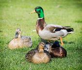Group of mallard ducks on the green lawn — Stock Photo