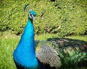 Portrait of a Peacock (Pavo cristatus) — Zdjęcie stockowe