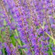 Salvia officinalis flowers — Stock Photo #47066701