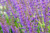 Salvia officinalis flowers — Stock Photo