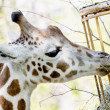 Rothschild's giraffe eats dried hay — Stock Photo #47407537