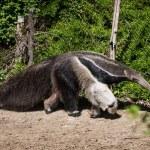Giant anteater (Myrmecophaga tridactyla) — Stock Photo #48292307
