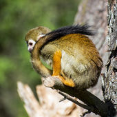 Monkey with a long tail — Stock Photo