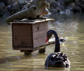 Black swan and birdhouse on the water — Stock Photo