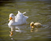 One white duck with her duckling — Stock Photo