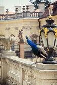 Buchlovice castle and Peacock (Pavo cristatus) — Zdjęcie stockowe